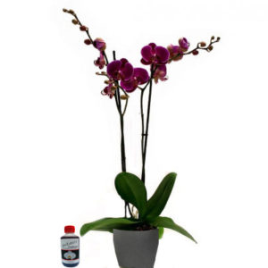 plantas de orquideas guinda